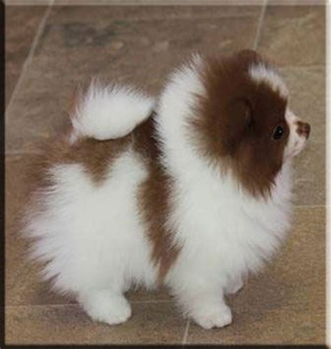 chocolate and pomeranian white pomeranian pomeranians and chocolate on