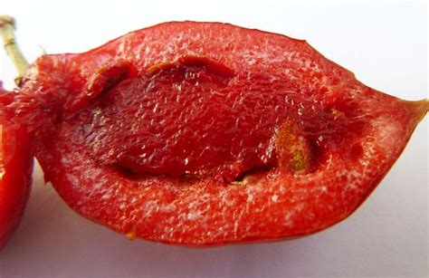 Benih Bibit Seeds Buah Date Plum Persimmon Fruit Import bibit natal plum