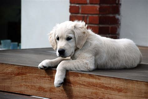 golden retriever blanco golden retriever un perro de portada gublog