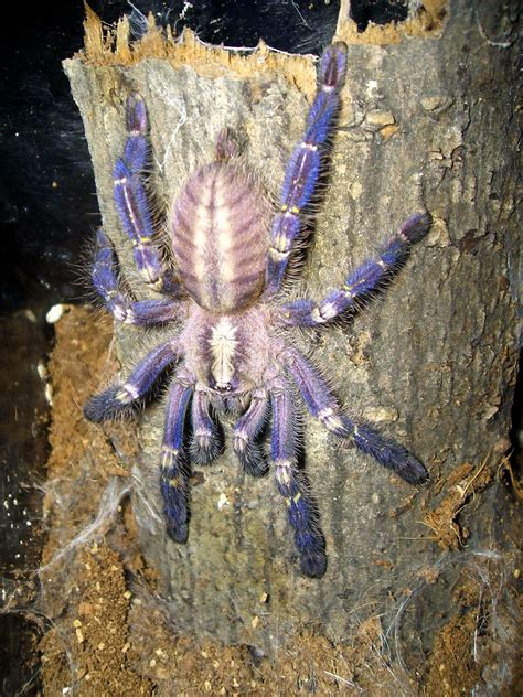 gooty sapphire ornamental tree spider alis answers