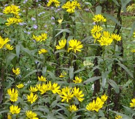 helianthus angustifolius swamp sunflower from woodlanders