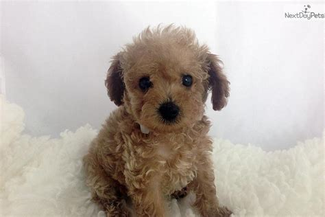 maltipoo puppies for sale bay area los angeles teacup chihuahua dogs puppies for sale html autos weblog