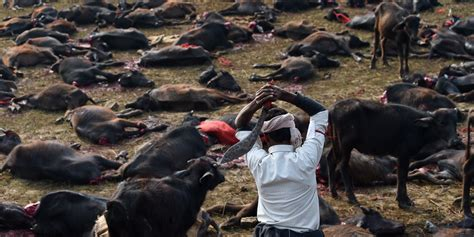 Shed Sacrifice by Nepal Animal Sacrifice Banned At The Controversial
