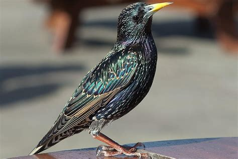bird profile of the european starling