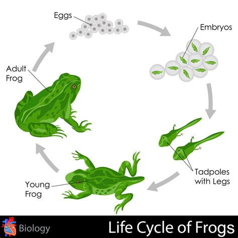Frog Cycle by Cycle Of Frogs Kidspressmagazine