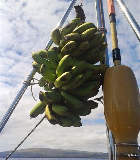 scherp aan de wind varen sy tara nl bananen in overvloed 11 12 april