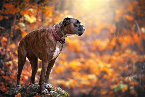 boxer puppies information boxer boxer info and health tips