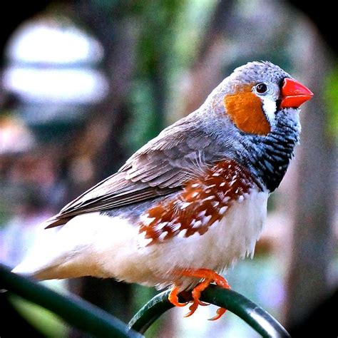 florida zebra finch domestic birds pinterest