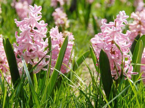 hyacinth flowers bulbs plants flowers  pink white