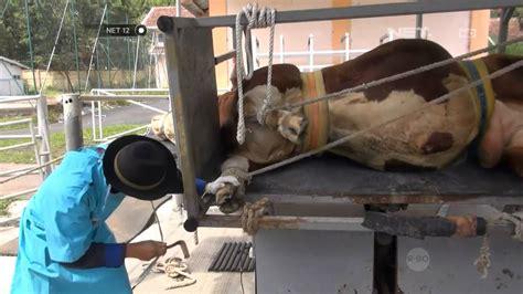Bibit Sapi Terbaru net12 inseminasi sapi di lembang siapkan bibit sapi