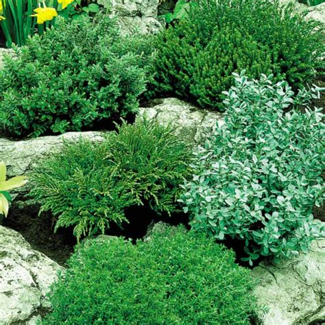 dwarf shrubs evergreen garden design with hebe evergreen collection low growing shrubs backyard designs small