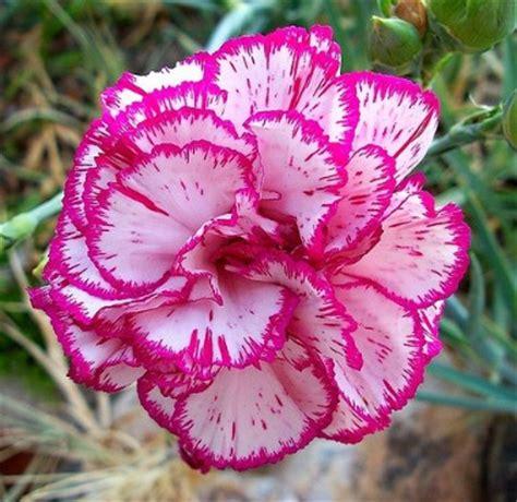gambar bunga tercantik di dunia beserta namanya kumpulan gambar lengkap