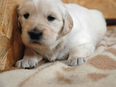 golden retriever litter golden retriever puppies past litters h litter