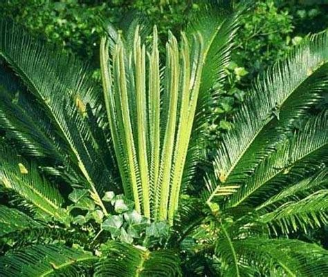 common house plant seeds common deadly toxin sago palm dogs cats and horses find