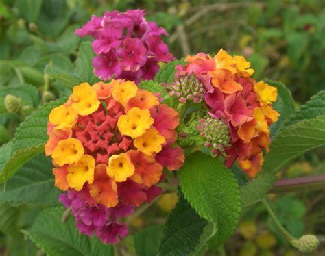 file lantana camara flowers 2 jpg