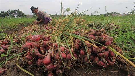 Bibit Bawang Merah Brebes sumbar tidak akan gunakan lagi bibit bawang dari brebes