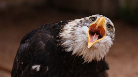 wallpaper 4k eagle eagle screaming wallpaper 1287719