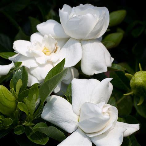 gardenia jasminoides cape jasmine healthy ornamental