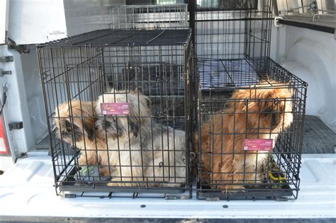 cage for shih tzu three abandoned shih tzu found in cages in peterborough alleyway ptbocanada