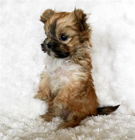 teacup morkie puppies micro teacup morkie morky morktese puppy xxs tiny iheartteacups