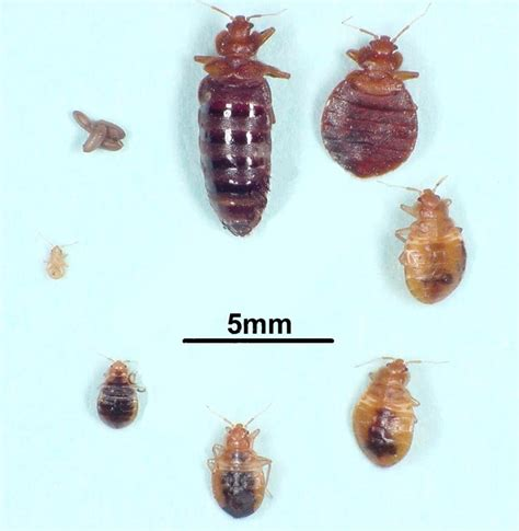 bed bugs pictures stages stewarts pest control bed bugs