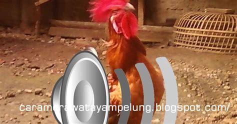 Bibit Ayam Lung cara merawat ayam pelung suara ayam pelung