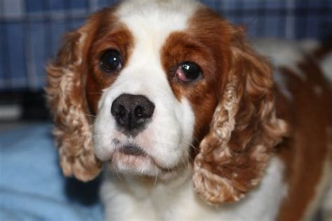 cavalier king charles spaniel puppies adoption cavalier king charles spaniel dogs for adoption and rescue breeds picture