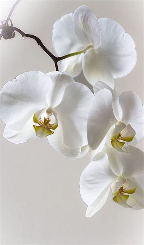 5 Beautiful White Things by All Things White 1 Flowering Trees Orchid