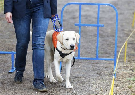 how to guide dogs international guide dogs day how to become a puppy raiser