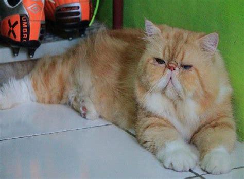 Sho Kucing Paling Murah hening cahya ridhayanti jenis jenis kucing