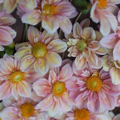 Dahlia Apple dahlia appleblossom floret flowers