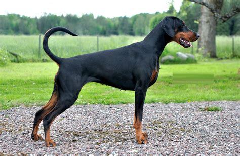 doberman puppies breeders doberman pinscher facts pictures puppies temperament