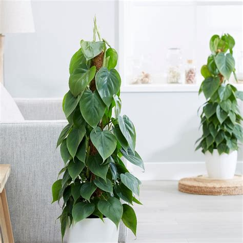 buy heart leaf philodendron scandens  delivery