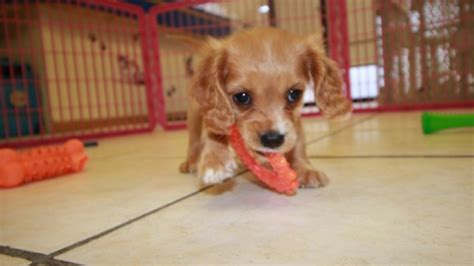 dogs for sale in ga adorable cavatese puppies for sale in at puppies for sale local breeders