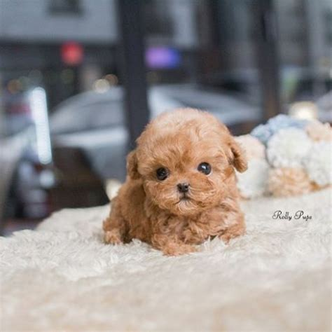 micro teacup poodle lifespan the 25 best ideas about poodle micro on