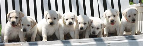 golden retriever puppies for sale in erie pa labrador retriever rescue erie pa dogs in our photo
