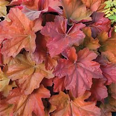 Southern Comfort Coral Bells by 804 Best Images About Heuchera Tiarella For Garden On