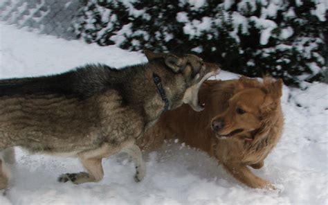 golden retriever attacks wolf attacks golden retriever history