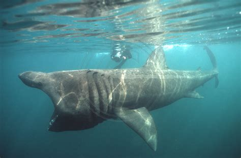baby shark urban dictionary 26 galeophobia pictures of the scariest sharks you ll ever see