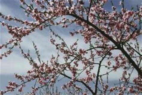 how to protect peach tree blossoms from frost   home