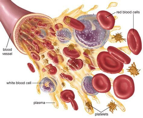 blood cells diagram blood how blood works in our blood diseases