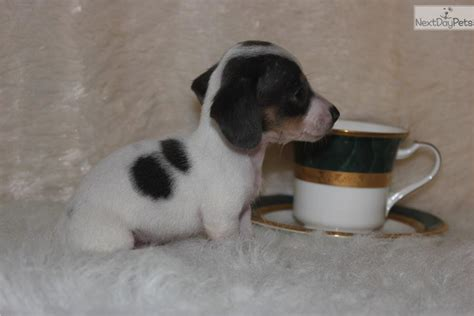 teacup dachshund puppies pin teacup dachshund puppies on