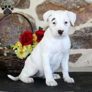 american bulldog puppies for sale in pa american bulldog puppies for sale in pa