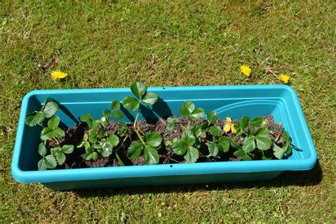 himbeeren pflanzen balkon erdbeeren pflanzen tipps f 252 r balkon und garten homegate ch