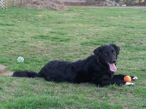 border collie golden retriever mix for sale border collies golden retriever mix and nyx on