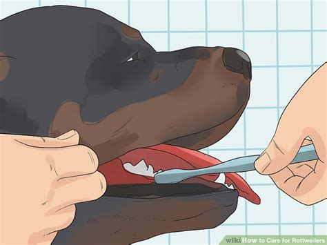 caring for rottweilers how to care for rottweilers with pictures wikihow