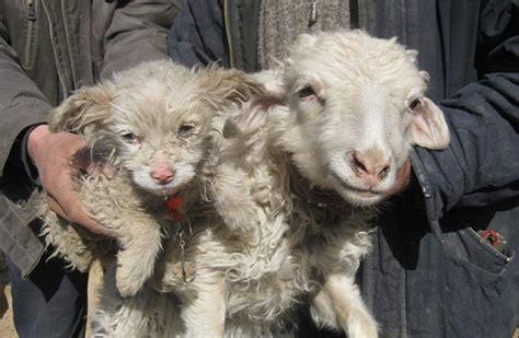 sheep puppy sheep hybrid history