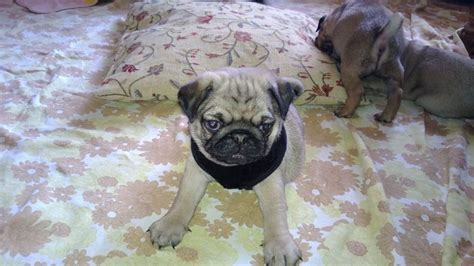 kc registered pug puppies for sale kc registered 100 pedigree pug puppies for sale doncaster south pets4homes