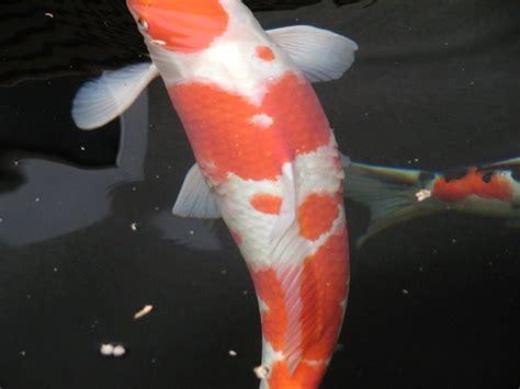 goldfisch schuppen stehen ab fishcare wurmkuren und salz