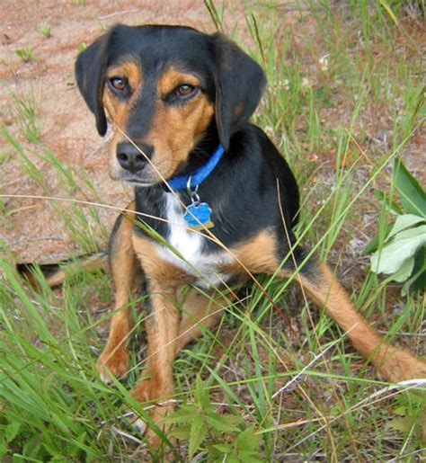 beagle coonhound mix the gallery for gt bluetick coonhound beagle mix